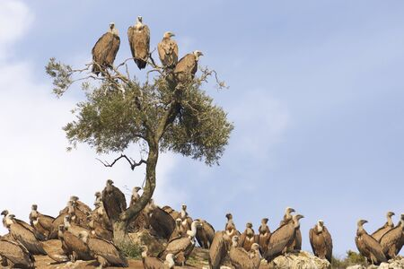 flock of griffon vultures (Gyps fulvus) in the dung of Ca? ? ete la Real in Malaga. Andalusia, Spain Reklamní fotografie