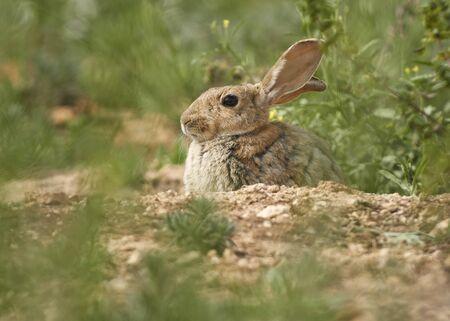 Common or European rabbit, Andalusia. Spain