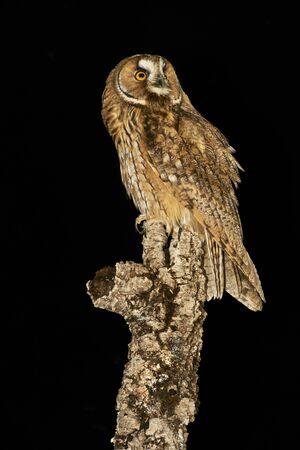 Owl Boy. Asio Otus. Night Bird of Europe