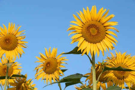 field of yellow sunflowers over blue sky in Malaga, Andalusia. Spain
