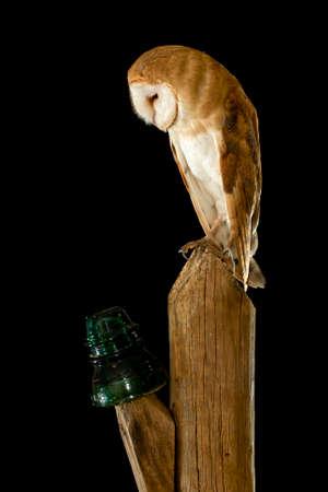 Field owl in the dark Archivio Fotografico