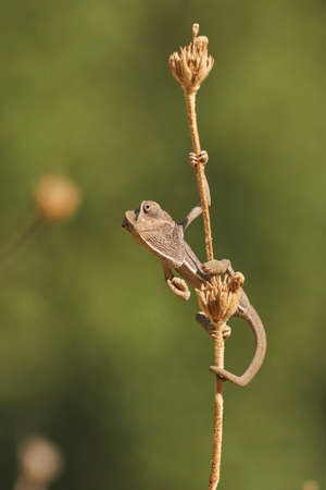 Common chameleon (Chamaeleo chamaeleon) Marbella. Andalusia, Spain