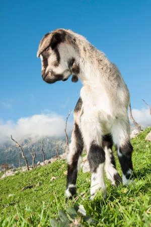 goat breeding in the mountain of Grazalema in Cadiz. Andalusia, Spain