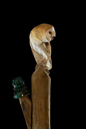 Barn Owl (Tyto alba) perched at night on a poster of light. Andalusia, Cadiz Archivio Fotografico