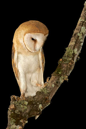Barn Owl (Tyto alba) perched at night on a wooden branch. Andalusia, Cadiz