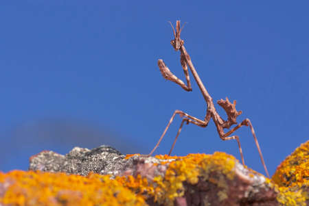 stick mantis (Empusa Pennata) on a rock with moss and blue sky in Malaga. Andalusia. Spain
