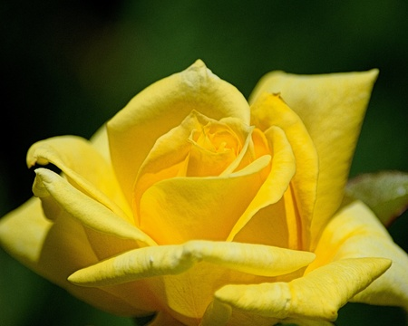 closeup: Beautiful yellow rose