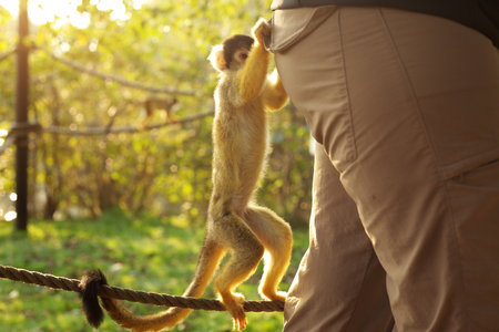 Little squirrel monkey is curious and want to get into a woman´s pocket Stock Photo