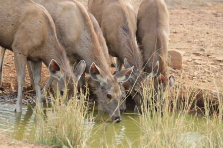 Male Sambar Deer and female  no horn Stock Photo - 17272372