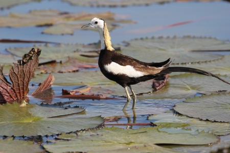 jacana: Pheasant-tailed Jacana,