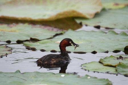 lesser: Lesser Whistling-Duck  Stock Photo