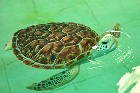 Turtle in the pond. Before being released into the sea. Animals are endangered. Stock Photo - 19454777
