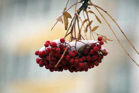 rowanberry: A bunch of mountain ash on a branch under the snow Stock Photo