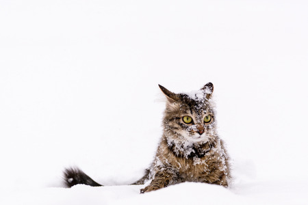 Photo of a fluffy striped cat sitting in the snow