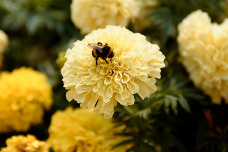 A fat bumble bee landed on a large yellow flower and was engaged in pollination Stock Photo