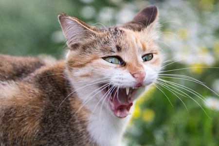Portrait of a funny yawning multi-colored cat