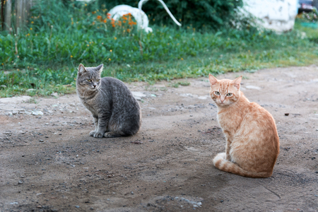 Two big beautiful cats sit on a road
