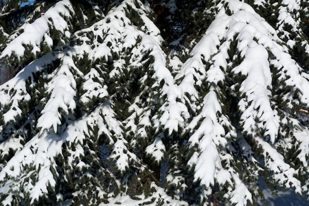 Fir branch covered with snow. Nature background