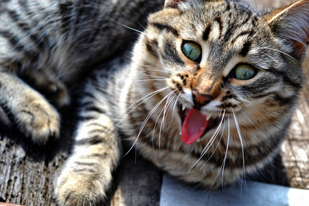 funny cat yawning mouth full. funny animals Stock Photo