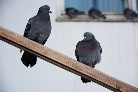 Two street pigeons sit on poles against the wall
