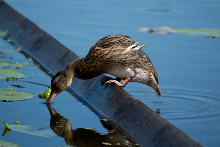 A lonely duck drinks water in a river Imagens