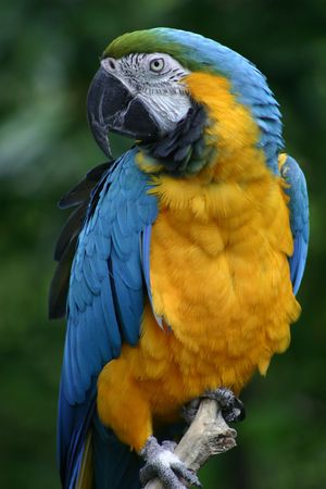 Blue and Gold Macaw Stockfoto