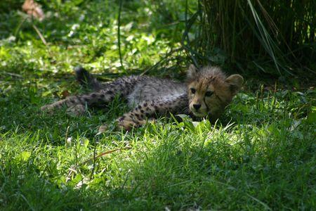 cheetah cub: Cheetah cub relaxing