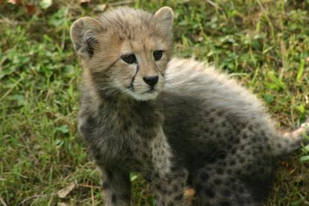 Cheetah Cub Reklamní fotografie