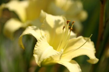 Yellow Lily Banco de Imagens