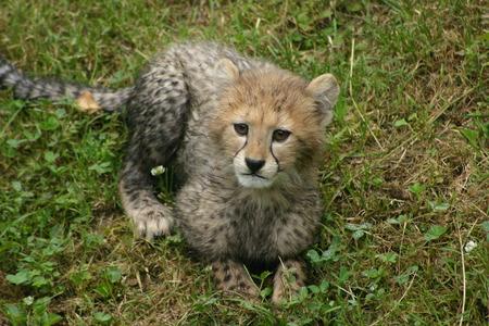 cheetah cub: Cheetah Cub Stock Photo