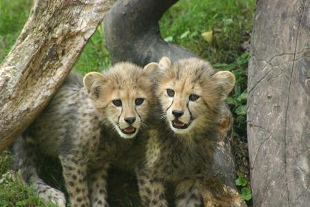 Cheetah Cubs Reklamní fotografie