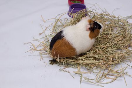 Guinea pig poop with hay isolated on white background.