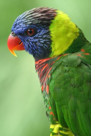 Close up of a fully grown lory. Stock Photo - 533290