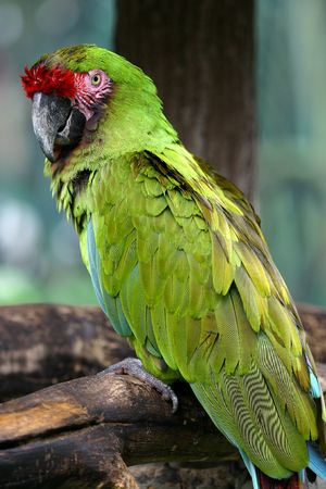 A green macaw. Stock Photo - 533306