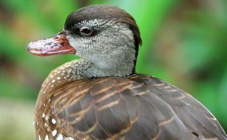 Duck Stock Photo - 533305