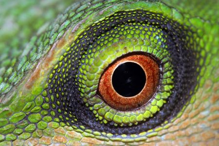Eye of a green tree lizard.