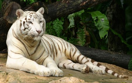 White tiger from singapore zoo.