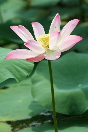 A fully grown pink lotus.