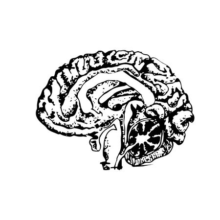 Didactic drawing of the human brain