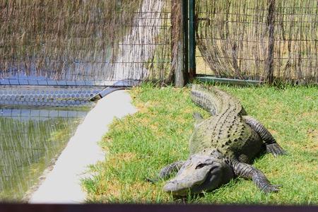 wilding: Crocodile
