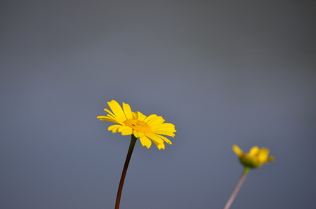 Chrysanthemum coronarium - Yellow daisy Фото со стока