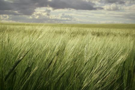castilla la mancha: wheat field in Castilla La Mancha, Spain