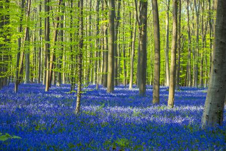 bluebells: Springtime bluebells bloom in Hallerbos, Belgium Stock Photo