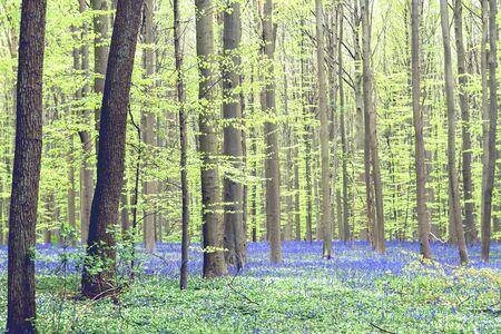 Springtime landscape in Hallerbos, Belgium Banco de Imagens