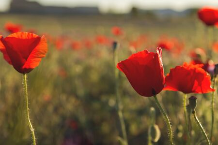 Red poppies growing wild in the springtime fields