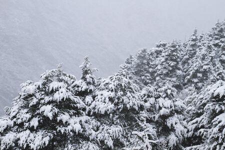 Evergreen trees under the snow Banco de Imagens