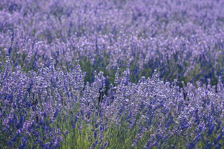 Detail of lavender fields blooming