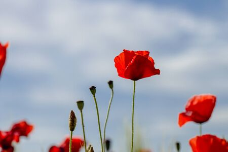 Wild red poppies blooming in spring