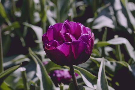 Purple tulip flowers blooming in spring