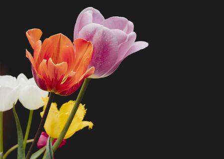 Colorful natural tulip flowers bouquet, black backdrop